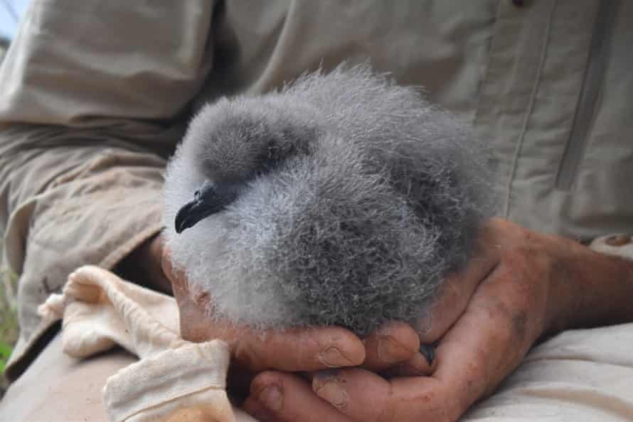 Black-winged petrel chick just prior to being weighed on Phillip Island.