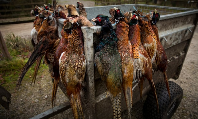 Defra challenged over 'unlawful' release of 57m game birds in UK