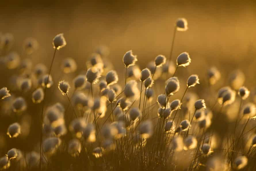 A crop of hare's-tail cotton-grass practically glows in Scotland's late-evening light.