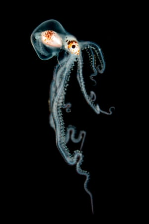 Macro category runner-upPelagic Octopus at Night by Helen Brierley (US)Location: Kona, Hawaii 'Suspended in the inky blackness of the open ocean where the water is thousands of feet deep, a myriad of weird and wonderful creatures came into view in the narrow focus light beam. They were making their nightly journey towards the surface to feed. Using our lights to help locate their prey ... I was able to take several shots of this tiny octopus as he drifted by, but he disappeared again into the darkness all too soon.'