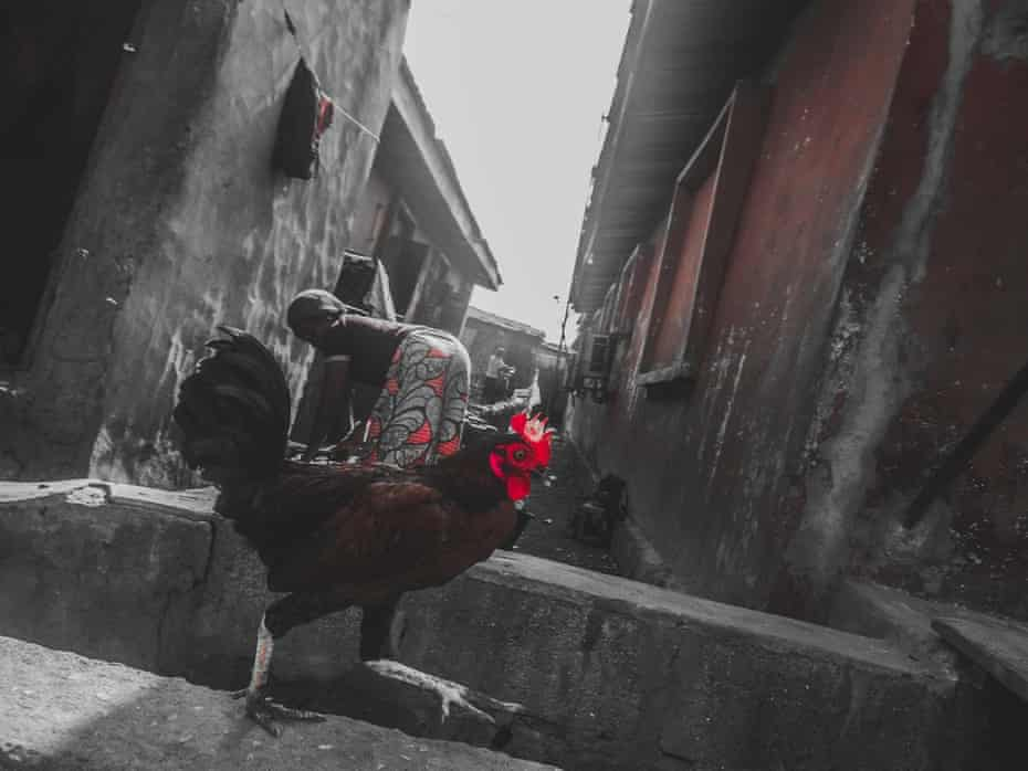 A rooster, watched by a woman in Orile.