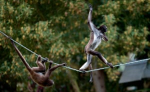A marimonda monkey walks on a rope during environmental enrichment training at Bioparque Wakata in Jaime Duque park, near Bogota, Colombia