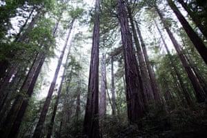 Redwoods trees in Muir Woods.