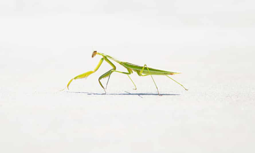 A reader sent this image of a mantis in Mooresville, North Carolina.