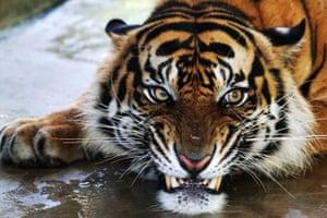 A rescued male Sumatran Tiger named Atan Bintang, before its release to its original habitat, at the Sumatran Tiger Rehabilitation Center in Dharmasraya, west Sumatra, Indonesia.