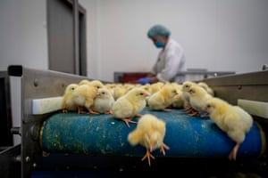 Skarżynek, Poland One-day-old chickens are prepared for transport in a hatchery. Poland is now Europe's top chicken producer and exporter