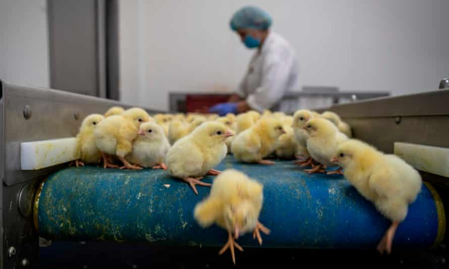 One-day-old chickens are seen in hatchery as they are prepared to transport, in Skarzynek, Poland, 1 October 2019.