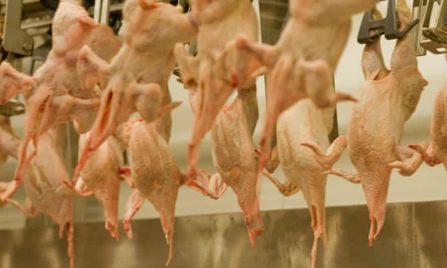Chickens in a UK slaughter plant
