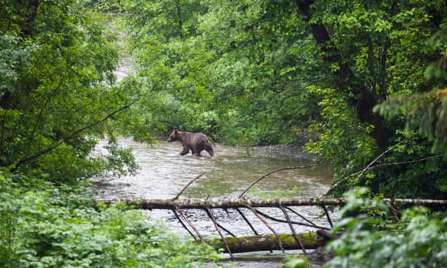 A brown bear fishes in the river in Tongass national forest.