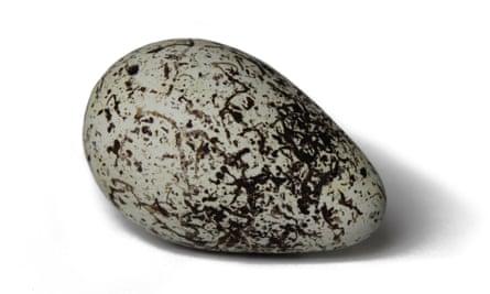A guillemot's egg.