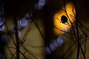 Heathrow roostings by Daniel Trim British wildlife photography: overall winner and urban category winner'In winter, pied wagtails roost communally in urban areas, both for protection and for the additional warmth given off by buildings and lights. This extra degree or two can make the difference in harsh weather. Here, a single individual out of hundreds is silhouetted by the lights of Terminal 5 at Heathrow airport.'