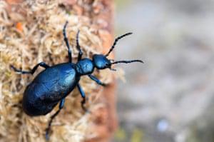 A violet oil beetle.