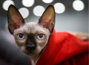 Moscow, Russia A Sphynx breed cat at the 2016 Grand Prix Royal Canin international cat show at the Crocus Expo Exhibition Centre