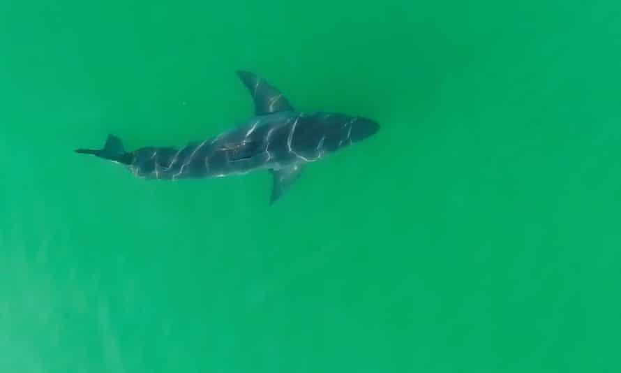 A juvenile white shark is tracked with a drone along the coast of Carpinteria, California.