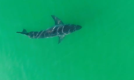'We're seeing more than ever': white shark populations rise off California coast