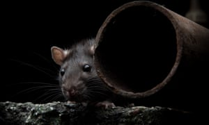 The battery-operated Ekomille machine attracts rats with a tempting alcoholic bait.