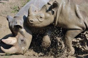 Black rhinos bathing in the mud at Dvur Kralove Zoo, Czech Republic
