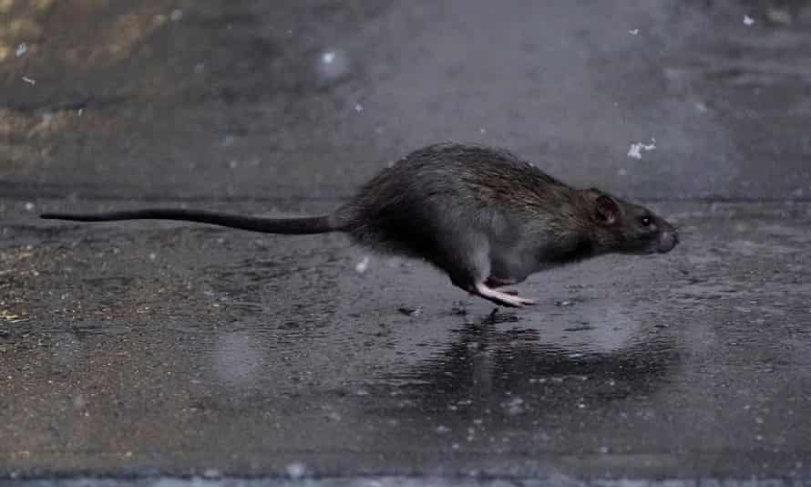 A rat runs across a sidewalk in the snow in the Manhattan borough of New York City.