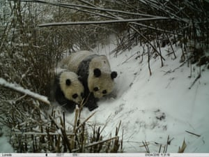 A giant panda sits with her cub in a snow-covered bamboo forest in Changqing nature reserve in Yangxian, Shaanxi province.