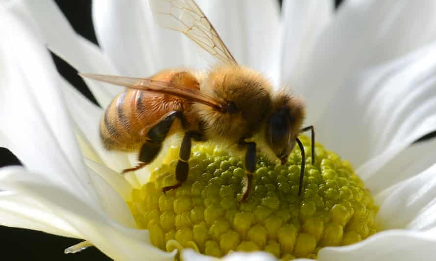 While people fear Australia's snakes and spiders, bees are statistically far more dangerous.