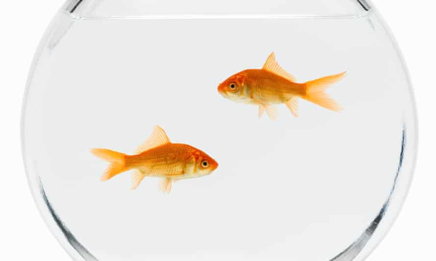 two goldfish in a bowl