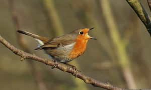 A Belfast university study found human noise pollution influenced robins' ability to communicate with each other.