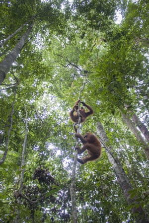Orangutans climb into the trees after being re-released into the wild in Borneo