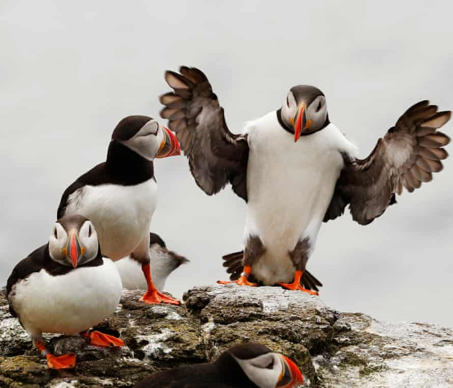 Awkward in the air, puffins beat their wings up to 400 times per minute
