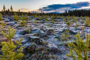 Old stumps covered in light frost or dew and green young spruces.