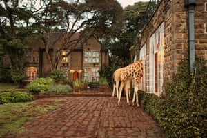 """The hotel, together with the associated <a href=""""https://en.wikipedia.org/wiki/Giraffe_Centre"""">Giraffe Centre</a> next door, operates a breeding programme to reintroduce this species back into Kenya's protected wild areas. Young calves born at the centre are generally introduced back into the wild at the age of two years"""