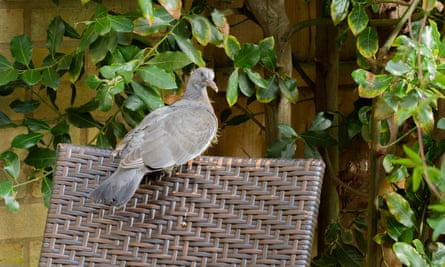 A young wood pigeon perches on a garden chair