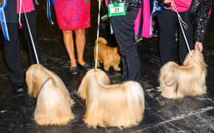 Dogs on leads at Crufts dog show 2019