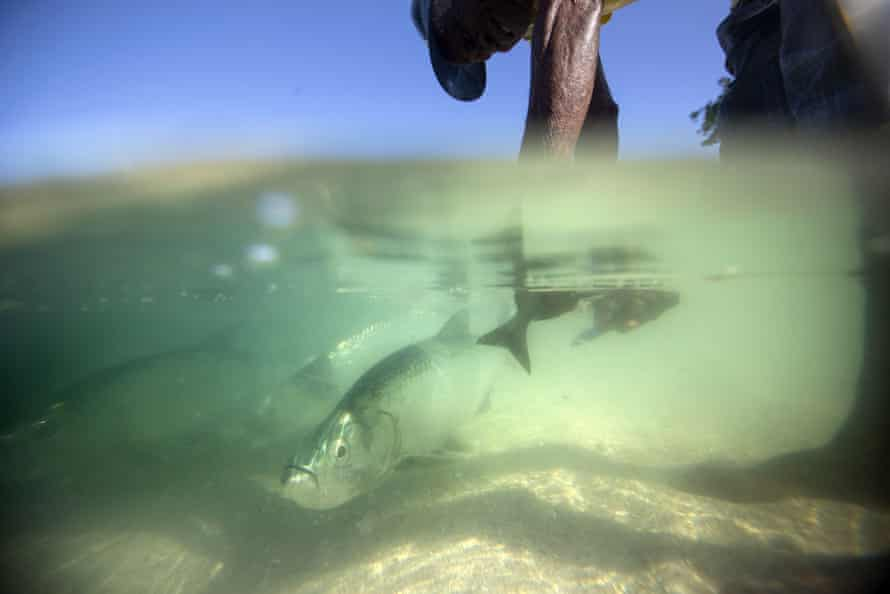 Fisherman Oswald Coombs is encircled by tarpon as he cleans his catch on the beach in the fishing village of Oracabessa Bay, Jamaica