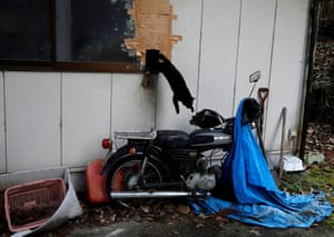 A feral cat, disturbed by a noise as he ate food left out by Kato, jumps out of a hole from a storage shed on Kato's property