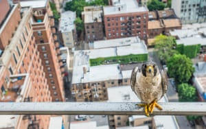 "Luke Massey is awarded the young environmental photographer of the year 2016 for his bold photograph 'Poser'. ""Peregrines were extirpated in Illinois in the 1960s but in the 1980s a reintroduction programme began and now 22 pairs nest in Chicago alone,"" he explains. ""One pair have chosen a Chicagoan's condo balcony as their nest site and in 2015 I followed them as they raised 4 chicks to fledging."" Described by naturalist and broadcaster Chris Packham as an 'exceptional young man', Luke dedicates his photographic skills to drawing attention to the plight of wildlife under threat."