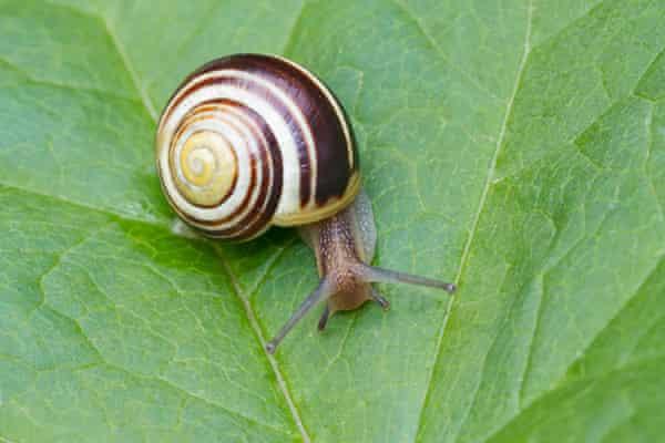 A brown-lipped snail
