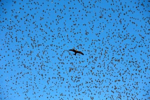 A black kite flies under a murmuration of migrating starlings ear the city of Beer Sheva, southern Israel