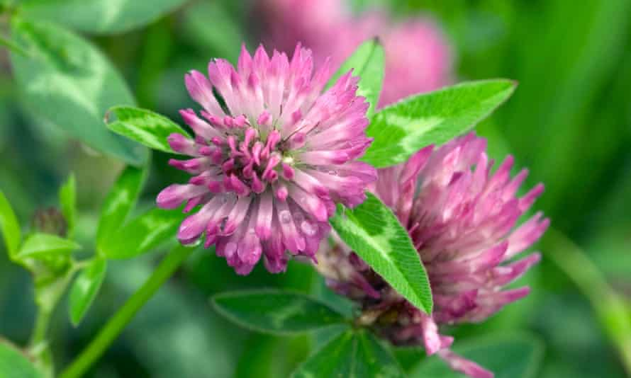 Red clover growing wild in the south of England – very few children could name it.