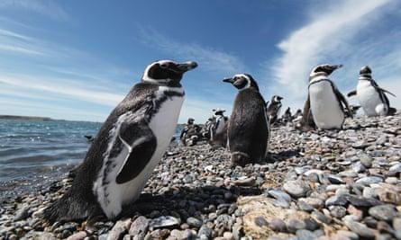 Magellanic penguins in Patagonia, Argentina