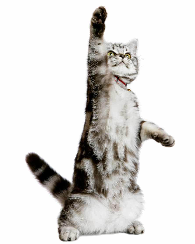 Practising for Cat Wimbledon: a British Shorthair kitten.