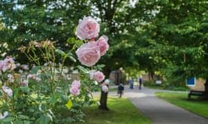 Pink roses at Morden Hall Park, London, UK.