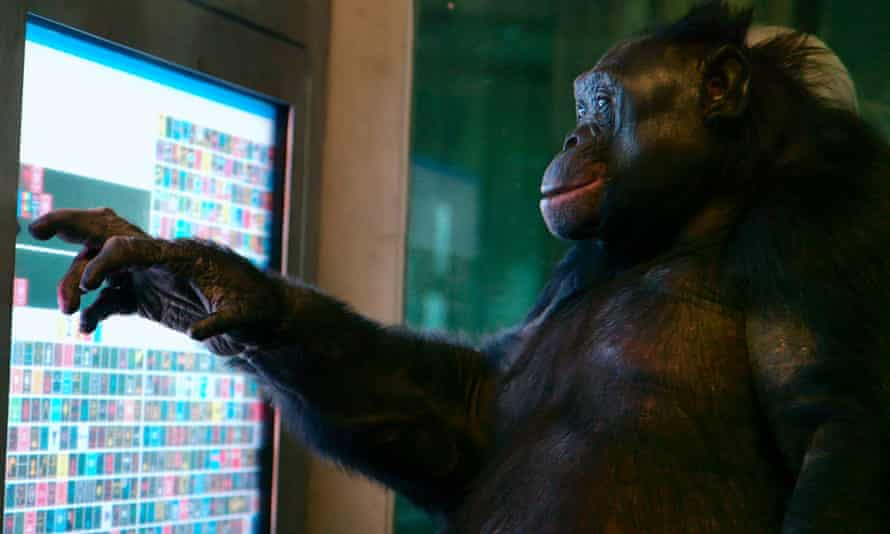 Bright student … a still from the BBC Storyville documentary Unlocking the Cage showing Kanzi the bonobo using a language computer.