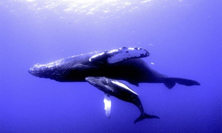 Humpback whale and calf in Hawaii