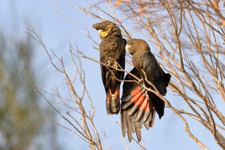 Glossy-black cockatoos