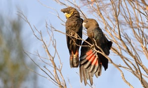 Glossy-black cockatoos were among the birds ACTP was permitted to import from Australia