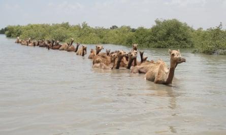 A herd of kharai camels