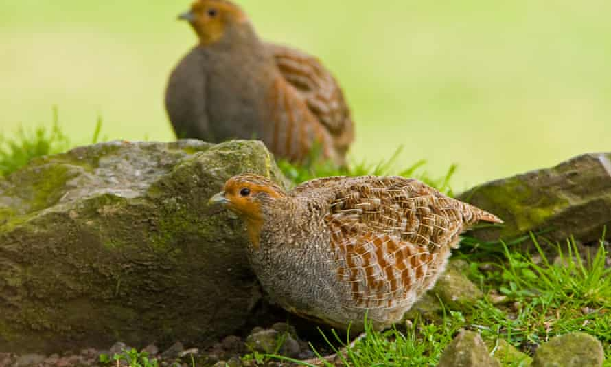 Grey partridges (Perdix perdix). These farmland birds, native to Britain, have declined across Europe. Habitat loss, pesticides, parasites and shooting parties are blamed.