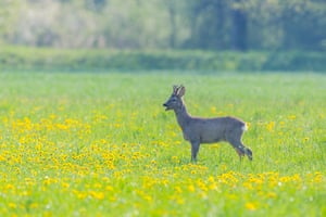 A young roebuck in a field of dandelions in the Swiss Alps