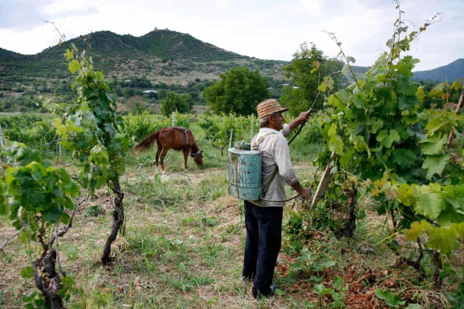 Georgian vineyard.