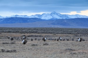 Greater sage grouse males in Wyoming.